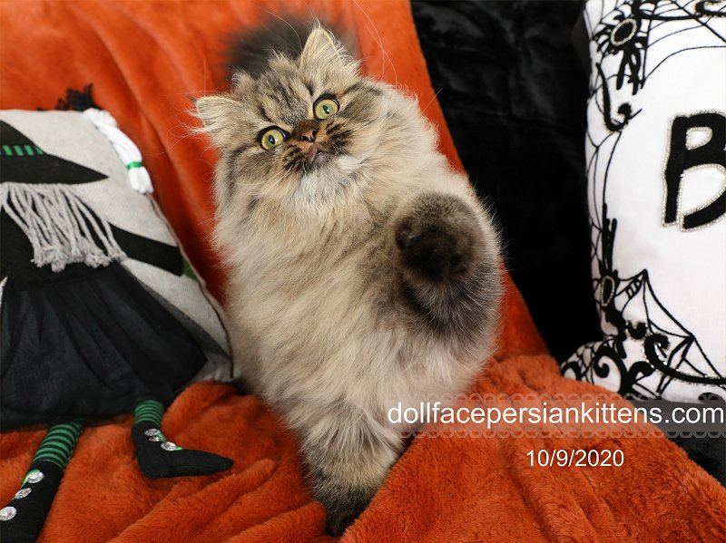 Shaded Golden Persian Kitten for Sale