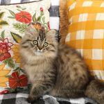 Tarzan - Shaded Golden Persian Kitten for Sale