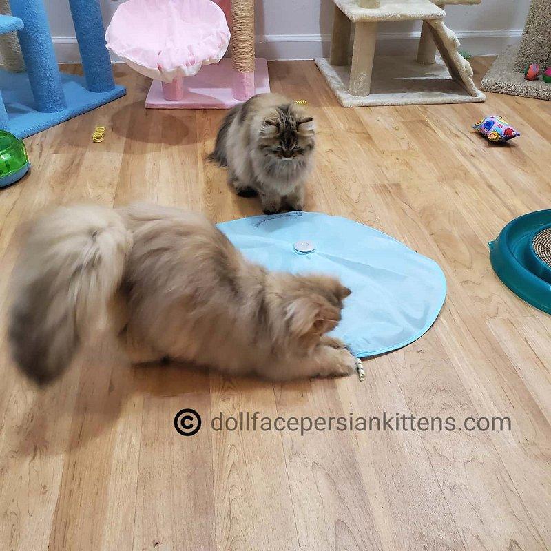 Persian Kittens Playing