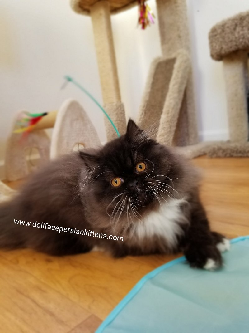 Doll Face Persian Kittens Cattery