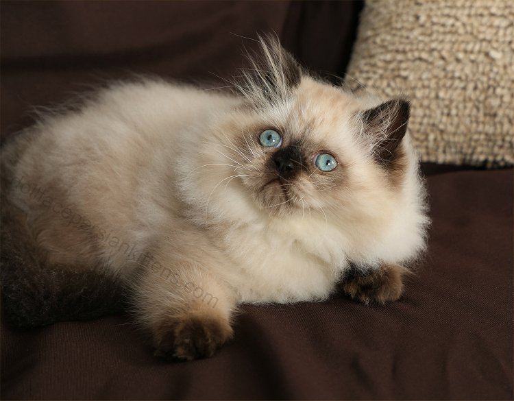 Toffee - Seal Point Himalayan