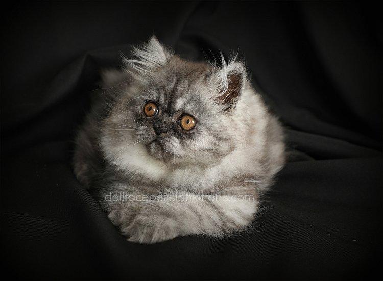 Black Smoke Persian Kitten For Sale