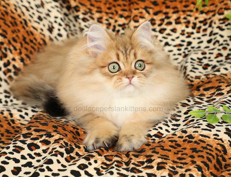 Chinchilla Golden Persian Kitten For Sale