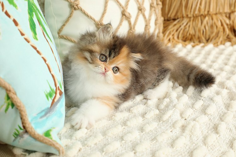 Doll Face Persian Kitten For Sale