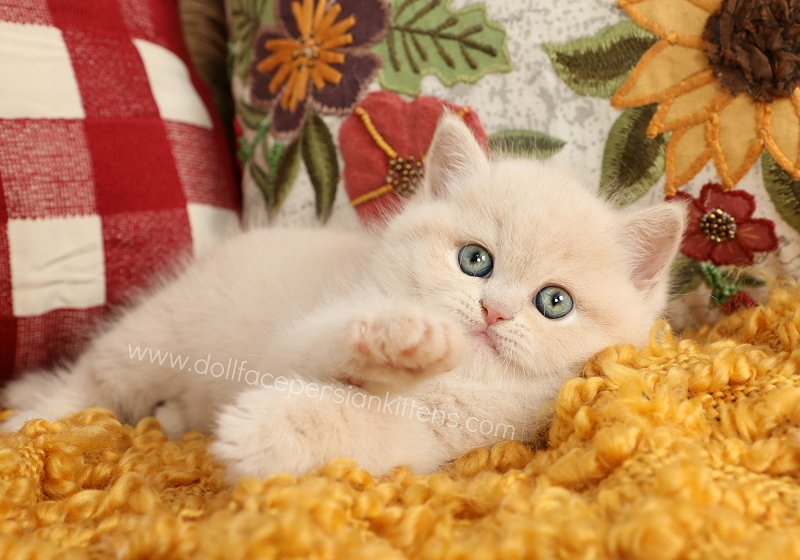Exotic Shorthair Persian