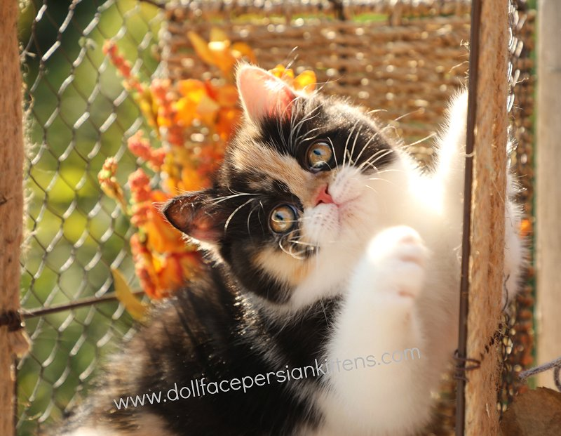 Calico Exotic Shorthair Persian Kitten For Sale