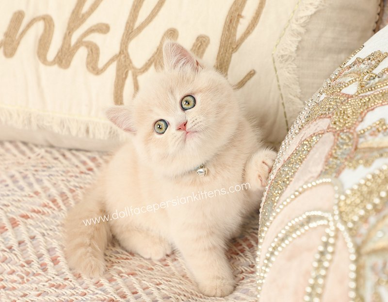 Cream Persian Kittens Cream Persian Cats Cream Colored Kittydesigner Persian Kittens For Sale Luxury Kittens 660 292 2222 660 292 1126 Shipping Available