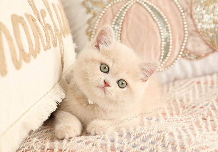 Cream Exotic Shorthair Persian Kitten For Sale