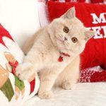 Exotic Shorthair Persian Kitten For Sale