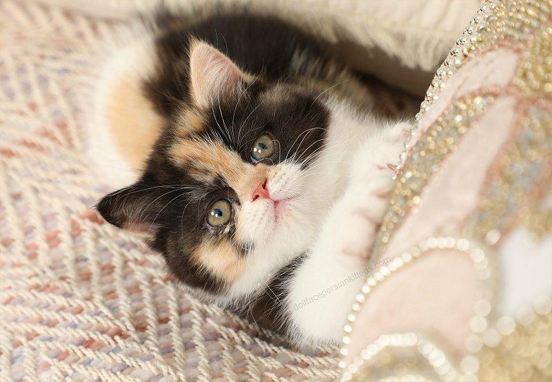 Exotic Shorthair Calico Persian Kitten