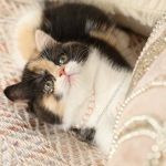 Exotic Shorthair Calico Persian Kitten