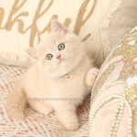 Cream Exotic Shorthair Female Kitten For Sale
