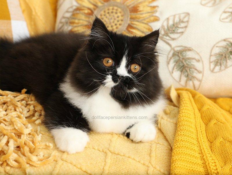 Black and white Bicolor Tuxedo Kitten