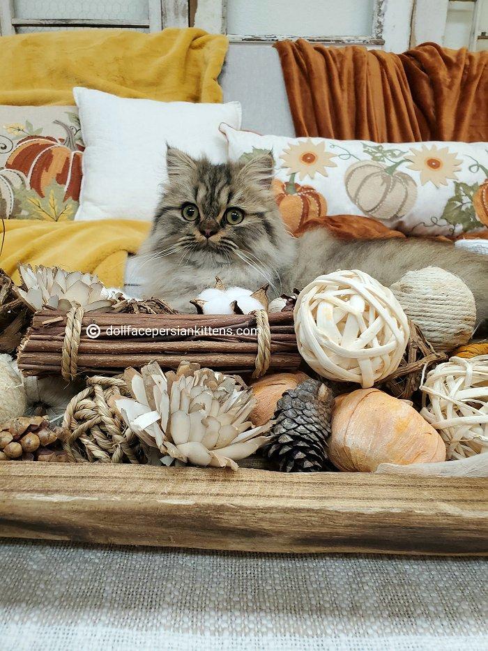 Classic Tabby Persian Kitten