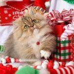 Rug Hugger Persian Kitten For Sale
