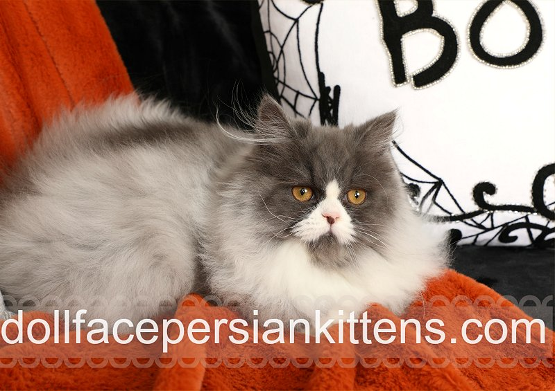 Blue smoke and white bicolor Persian Kitten For Sale