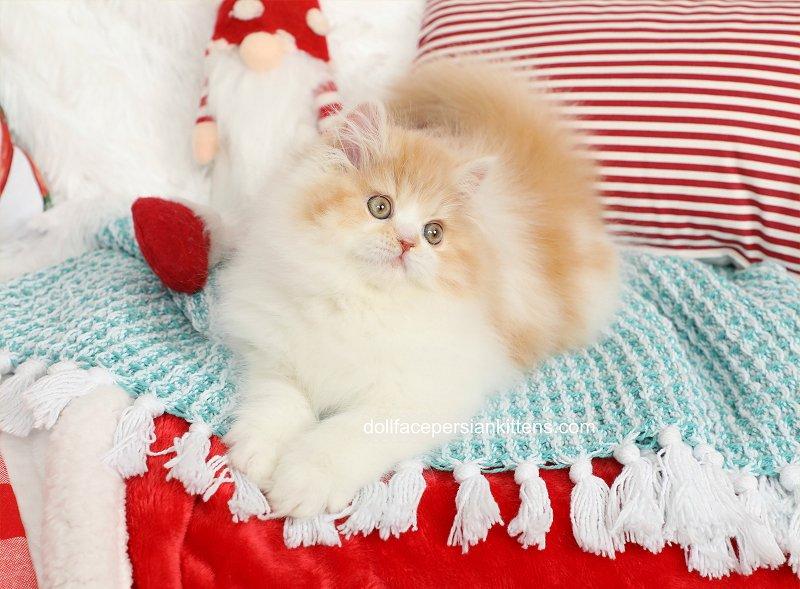 Cream and white Bicolor Persian Kitten