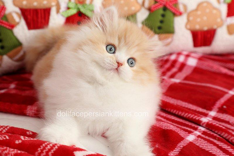 Cream and white bicolor Persian Kitten for sale