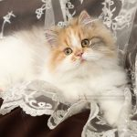 Calico Persian Kitten - www.dollfacepersiankittens.com