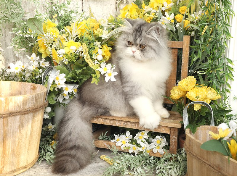 Silver Tabby and White Doll Face Persian Kitten