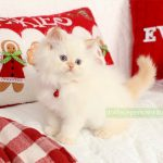 Flame Point Himalayan Kitten