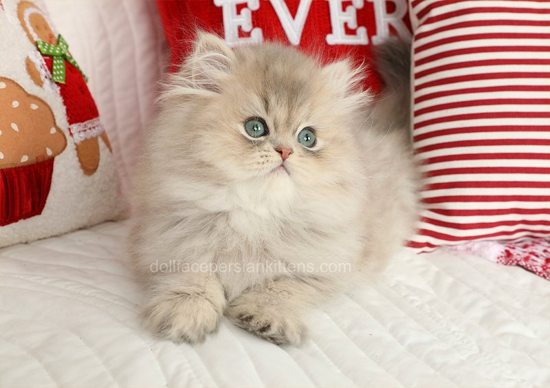 Chinchilla Blue Golden Persian Kitten
