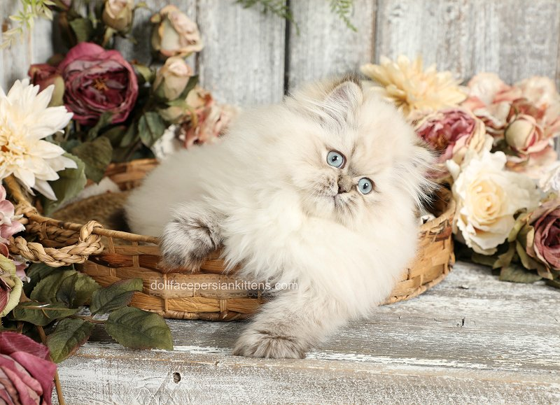 Seal Lynx Point Himalayan Kitten for Sale