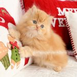 Red Tabby Male Persian Kitten For Sale