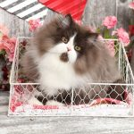 Chocolate and white Bicolor Persian