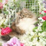 Calico Tabby Persian Kitten For Sale