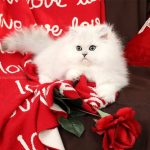 Silver Chinchilla Persian Kitten - www.dollfacepersiankittens.com