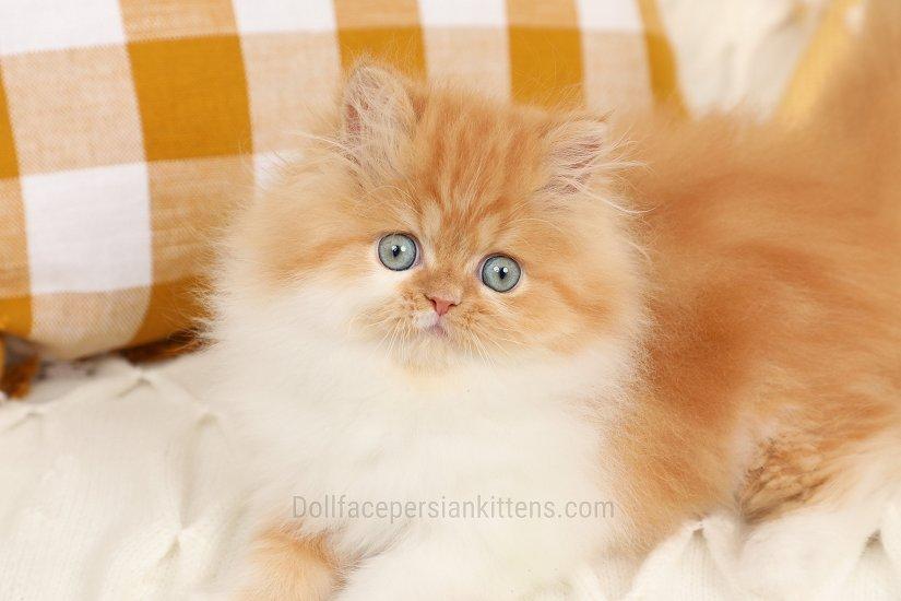 Doll Face Persian Kittens - Ginger Snap