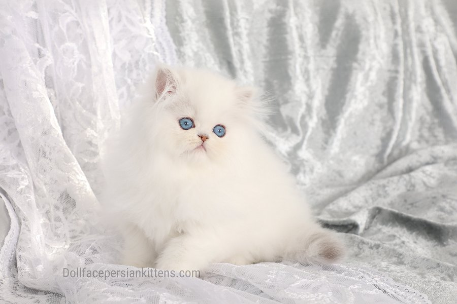Doll Face Himalayan Kitten