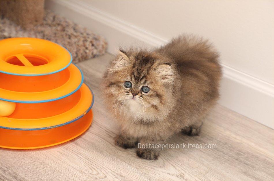 Teacup Persian Kitten
