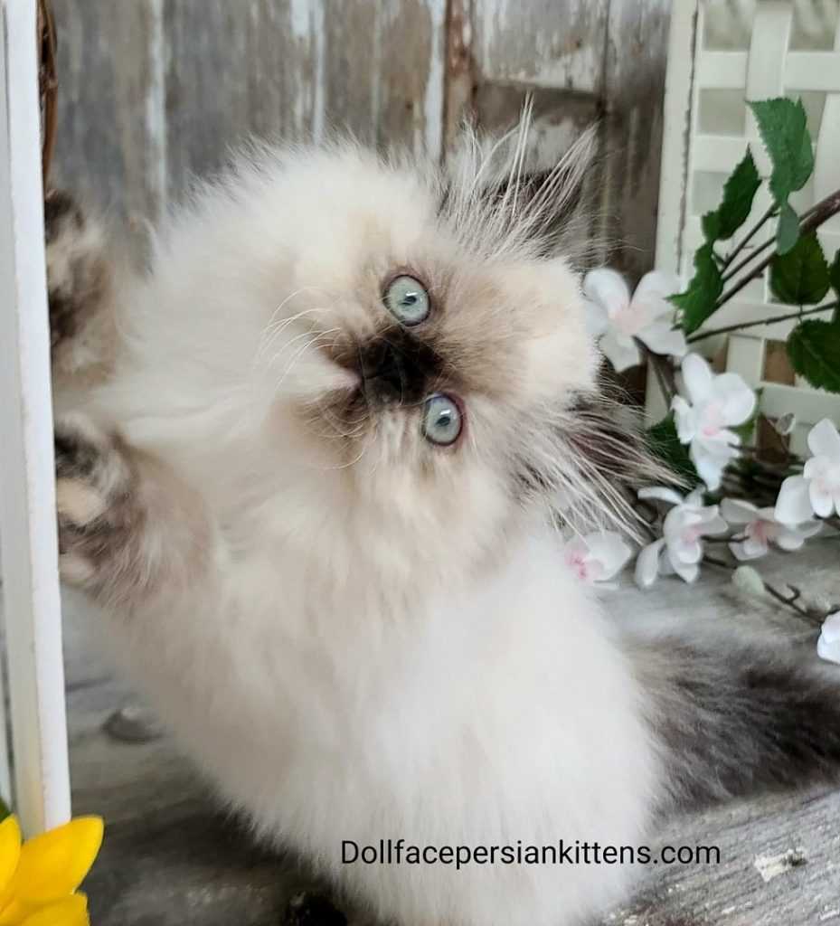 Tortie Point Himalayan - Lacie