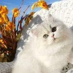 Lightly Shaded Silver & White Bicolor Persian Kitten