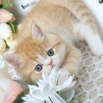 Exotic Short Hair Persian Kitten