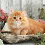Red Persian Rug Hugger Kitten