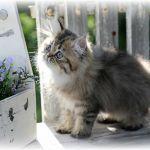 Golden Persian Kitten for Sale