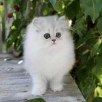 Silver Teacup Kitten for Sale