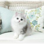 Doll Face Kitten for Sale