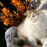 Golden Chinchilla & White Bicolor Persian Kitten