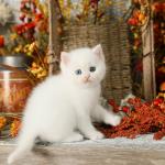White Exotic Short Haired Persian Kitten