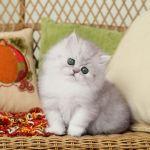 Silver Tip Persian Kitten