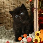 Black Exotic Shorthair Persian Kitten