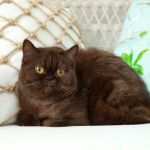 Chocolate Exotic Shorthair Persian Cat