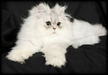 Pre,Loved Persian Kittens For Sale Doll Face Persian Kittens